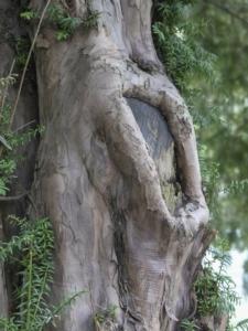 yew-tree-329454_1920